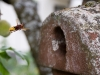 Hornissen im Vogelkasten