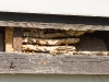 Hornissennest unter einer Dachverblendung