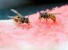 zwei Wespen kämpfen um die Rest einer Wassermelone